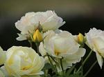 goldrose